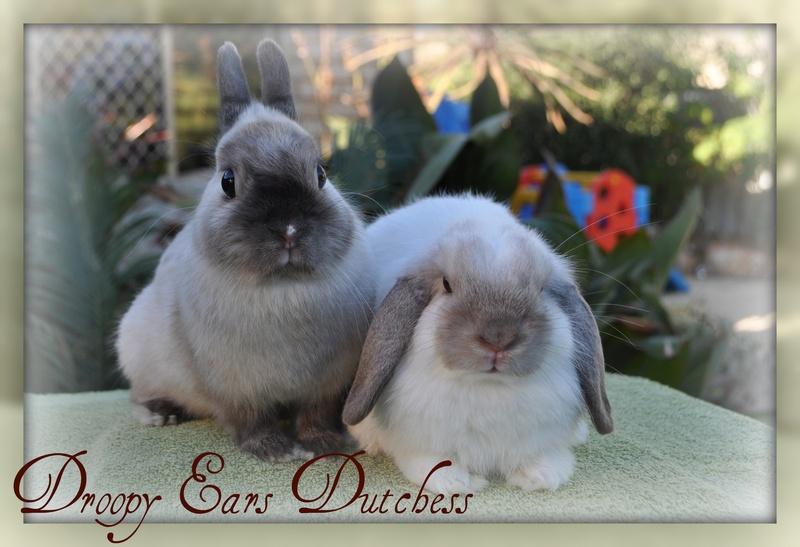 Vienna Marked Netherland Dwarf Rabbit